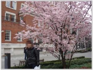セントポール大聖堂周辺で撮影した桜